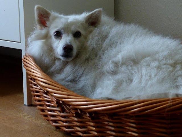 Spitzmischling Migo Ungarn Straßenhund