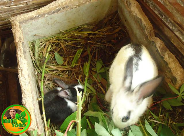 Umur berapakah anak kelinci dipisahkan dari induknya?. Sebelah kiri anak kelinci umur 1 bulan dan sebelah kanan anak kelinci umur 3 bulan.