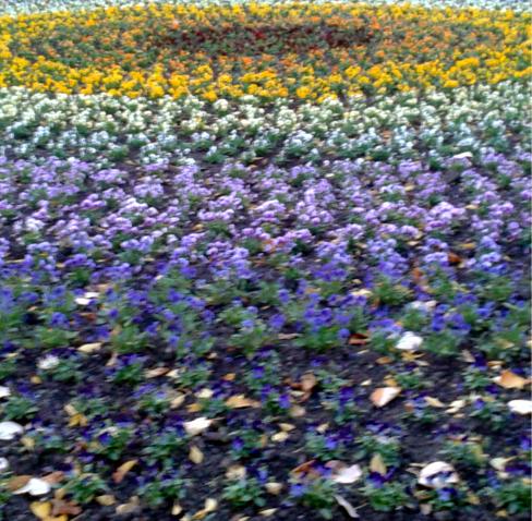 Egy budapesti park virágágyásában virágokból kirakott mandala, benne különböző színű árvácskák, sárga, lila, piros, közöttük őszi száraz levelek.