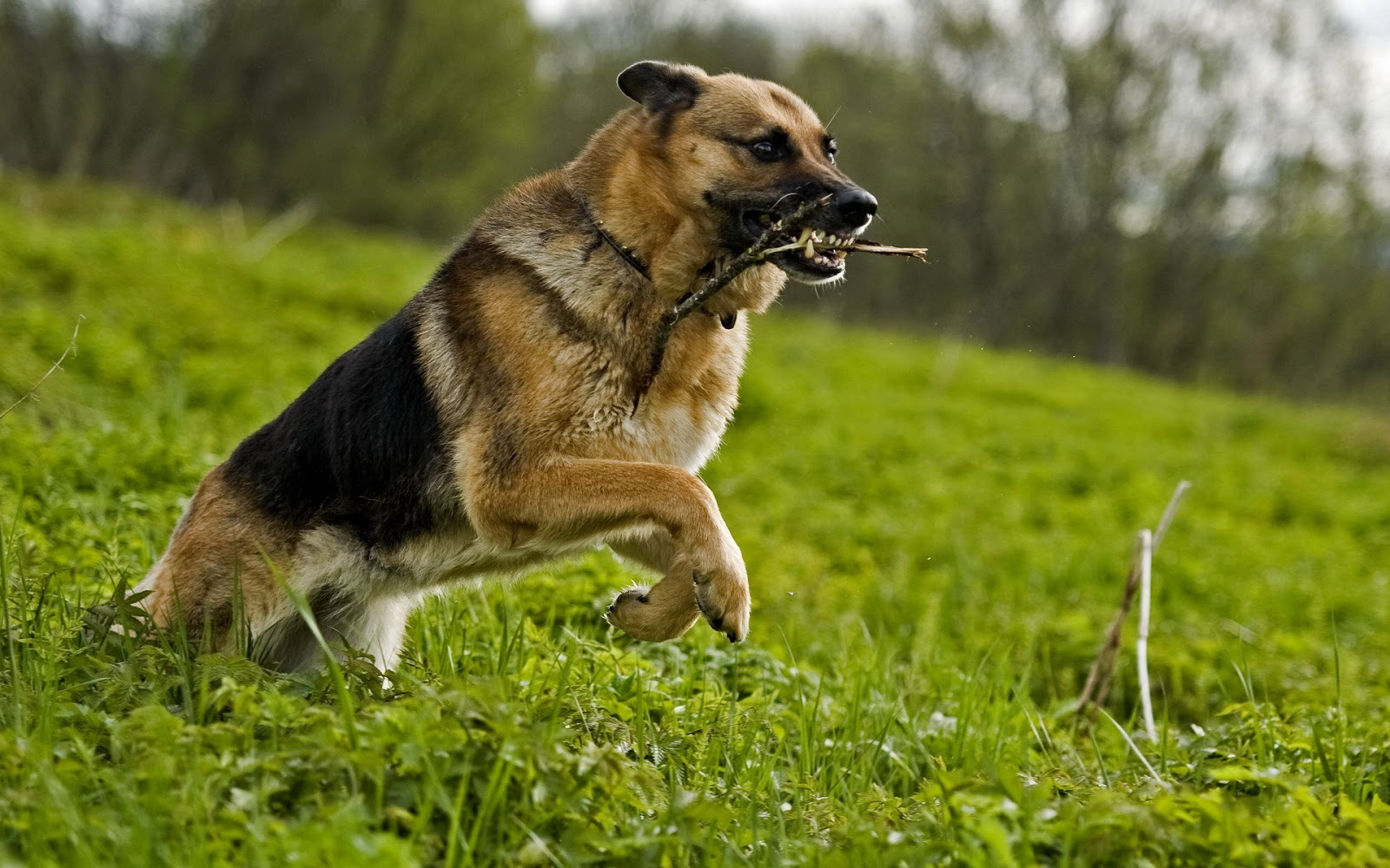 HD Dog Wallpapers Dog Pictures - HD Animal Wallpapers