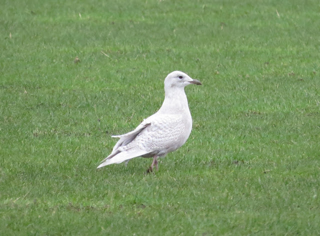 Iceland Gull - The Range, Anglesey