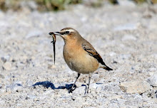 Fly Flatts Wheatear
