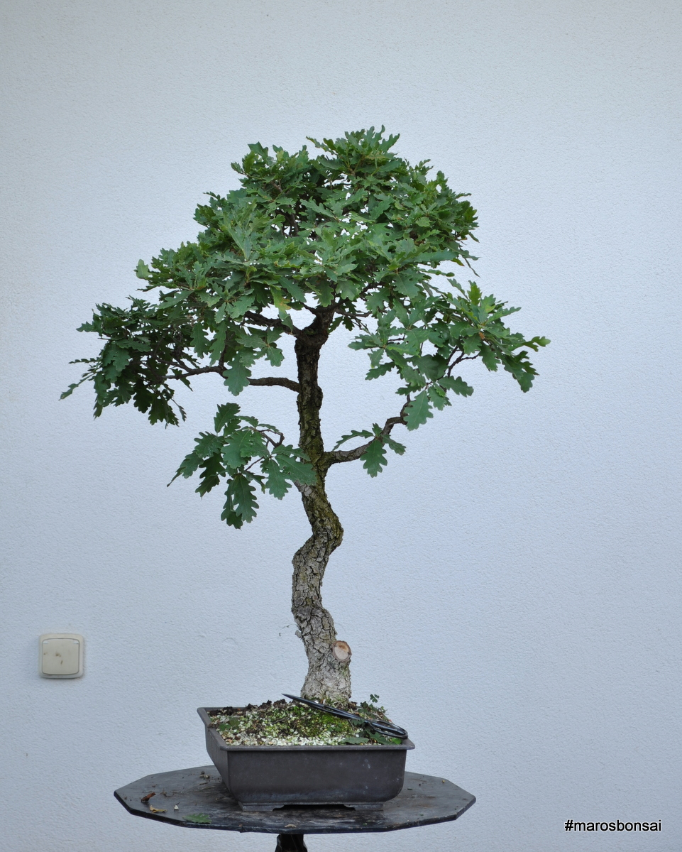 Maros Bonsai Blog Quercus Pubescens No 4