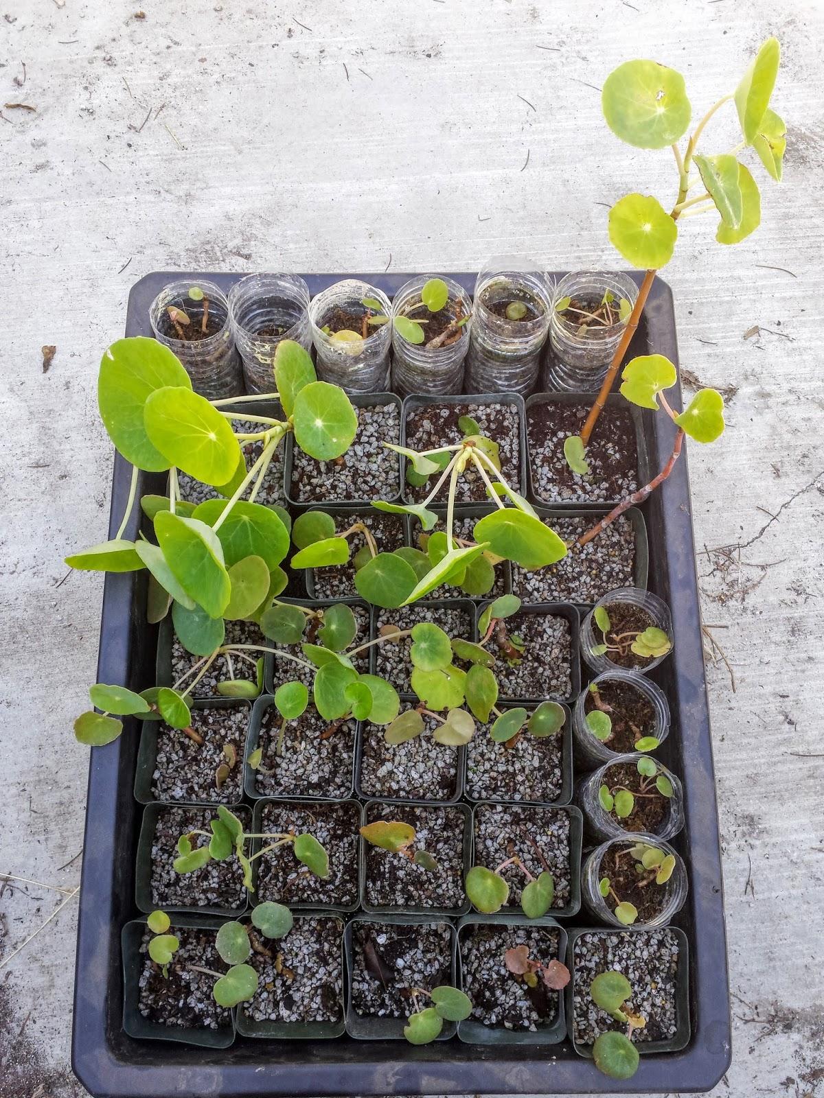 Begonia_Brazil_Diamantina_potted_up.jpg