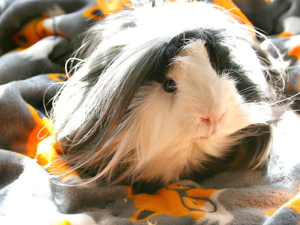 I Don't Think My Guinea Pig Is A Guinea Pig || Life
