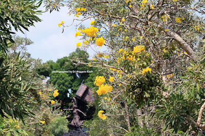 Tabebuia flower and Ma Eroh Monument in Alun-alun of Tasikmalaya