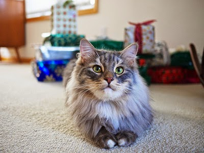 Longhaired cat with Christmas presents