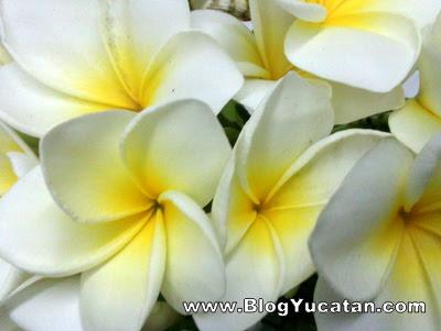 Flor de mayo  Plumeria   BLOG YUCATN