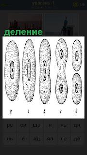 Происходит деление клеток на разных этапах показано