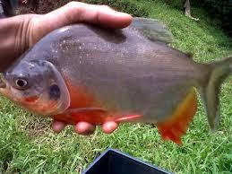 Download 4400 Koleksi Gambar Indukan Ikan Bawal HD Terbaru