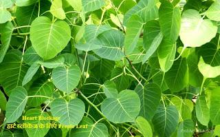 Heart Blockage-हार्ट ब्लॉकेज के लिए Peeple Leaf