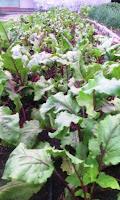 cultivo-remolacha-manati