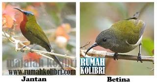 download suara kolibri merak untuk masteran
