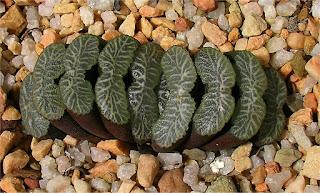 Haworthia truncata - M23081617