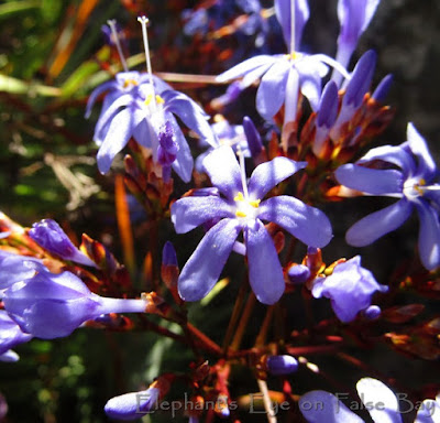 Blue Aristea?? on Bainskloof