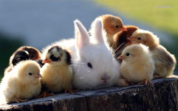 arnab-dan-anak-ayam