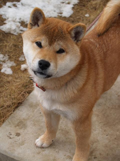 Lil Dog Whisperer The Little Fox The Shiba Inu