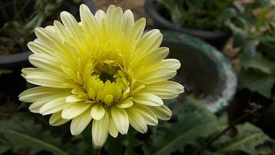 Gerberas flowers- Yellow