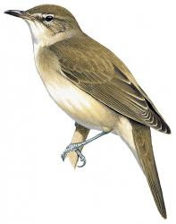 Acrocephalus griseldis