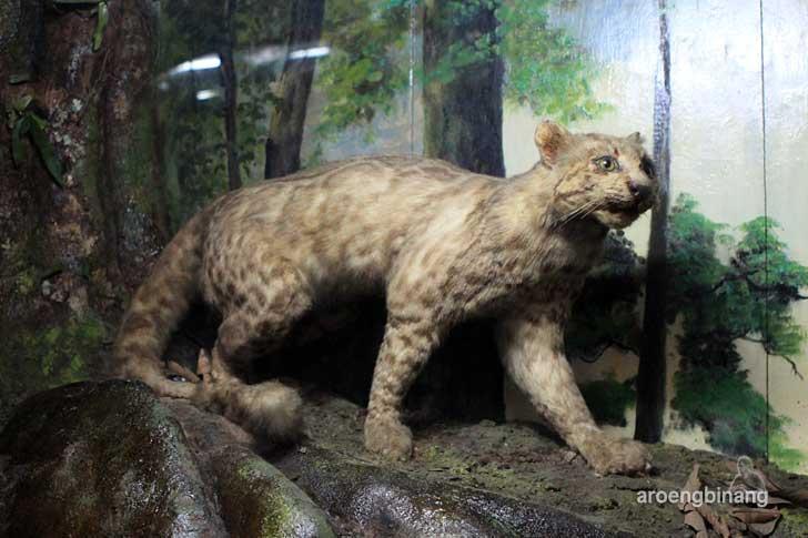 kucing batu museum zoologi bogor