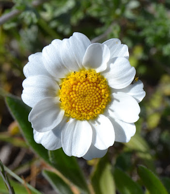 Anthemis maríti.