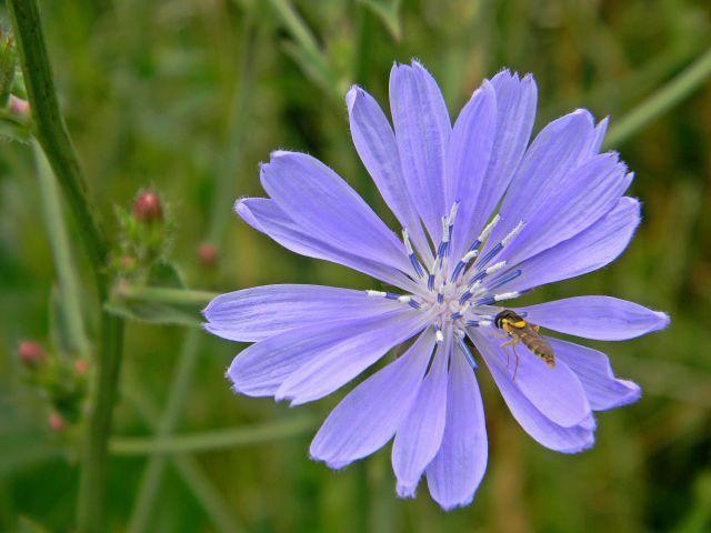 kwiat, niebieski, łąka, natura