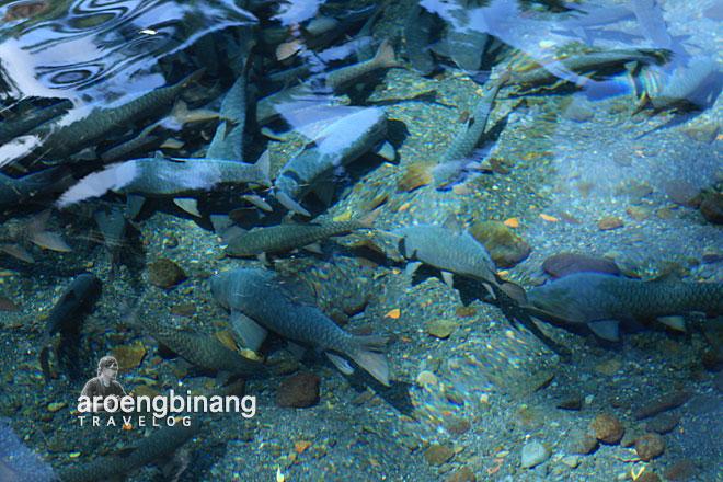 kolam cibulan kuningan