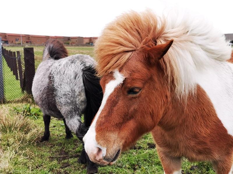 Shetland Ponies in Lerwick