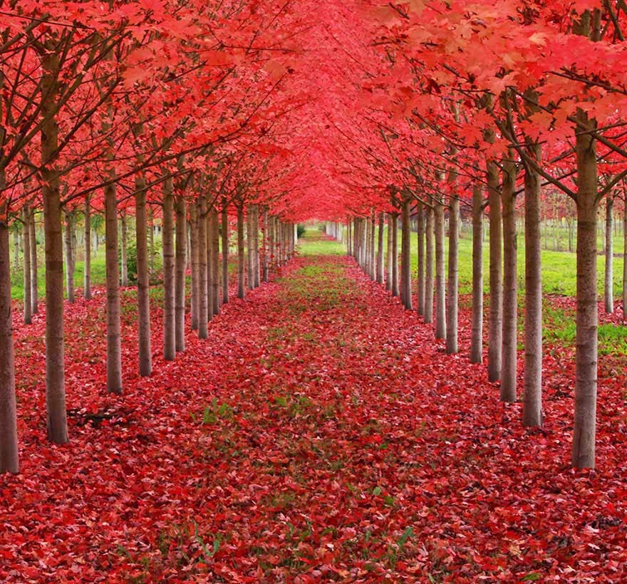 #11. A Tunnel of Maple trees in Oregon - 16 Of The Most Magnificent Trees In The World.