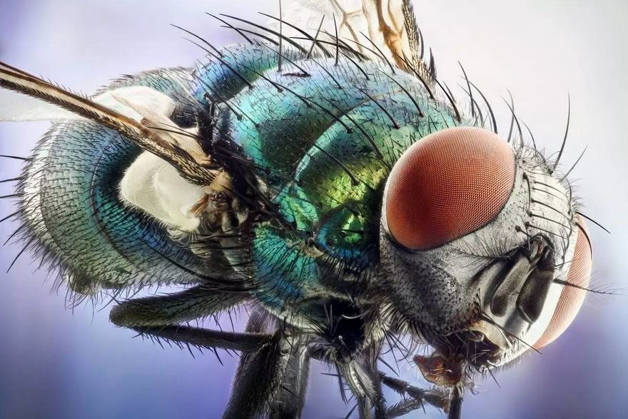 2016 Nikon Macro Photo Contest Winners Show The World Like You've Never Seen Before - Green Bottle Fly