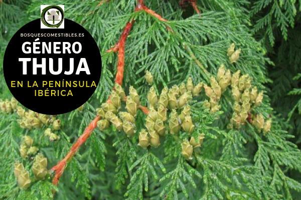 Lista de especies del Género Thuja, Familia Cupresáceas en la Península Ibérica