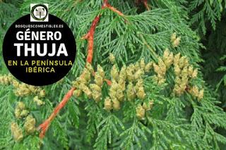 El género Thuja son arboles de pequeña talla que alcanzan una altura e 12 m o más, con copa grande