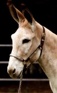 donkey jack Action Jackson at UC Davis horse barn