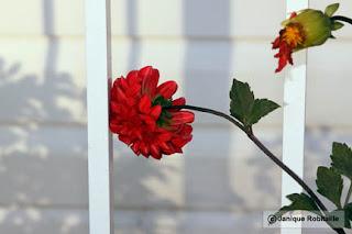 fleur dahlia rouge