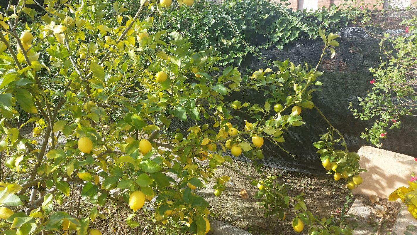 Description Of Lemon 2 Climate And Soil 3 Varieties 4 Patterns For Trees 5 Plantation Framework 6 Subscriber In The Cultivation Lemons