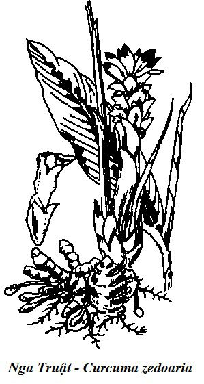 Hình vẽ Nghệ Đen - Nga Truật - Curcuma zedoaria - Nguyên liệu làm thuốc Chữa Bệnh Tiêu Hóa