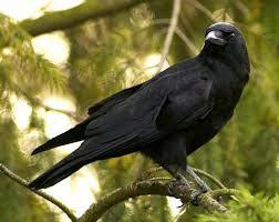 Keistimewaan burung gagak secara penelitian ilmiah