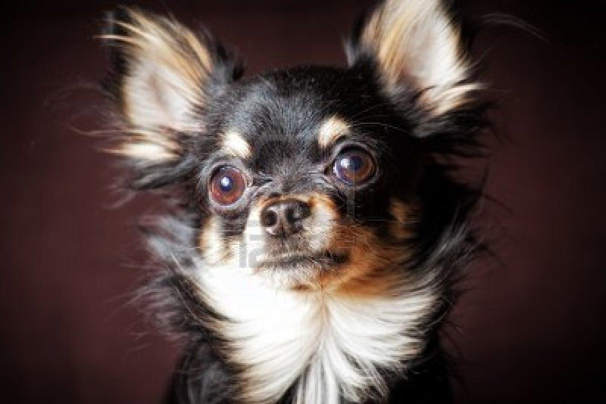 Rat Terrier Mixed With Pitbull   myideasbedroom.com