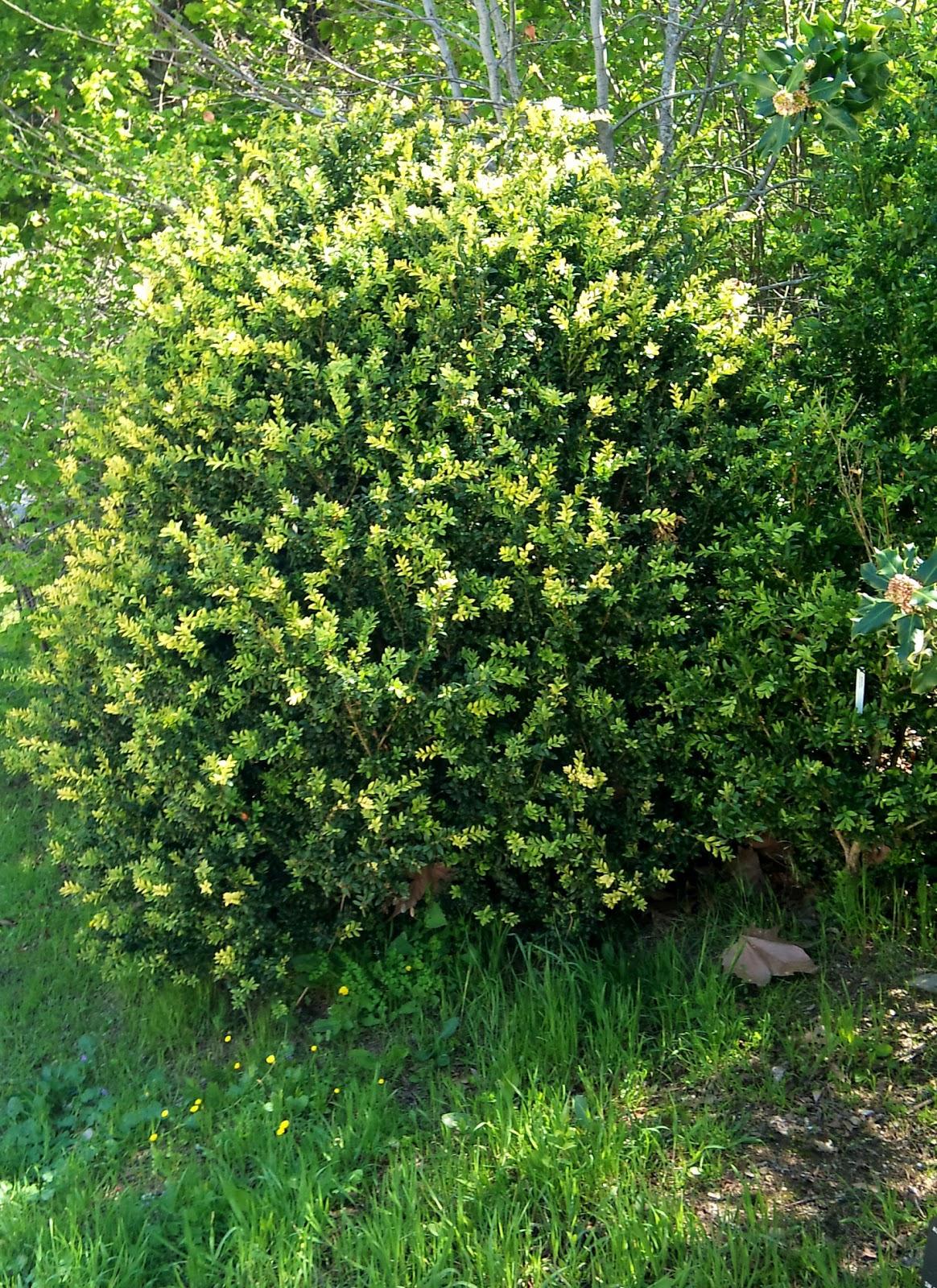 Rboles con alma boj boix buxus sempervirens for Jardines con arboles y arbustos