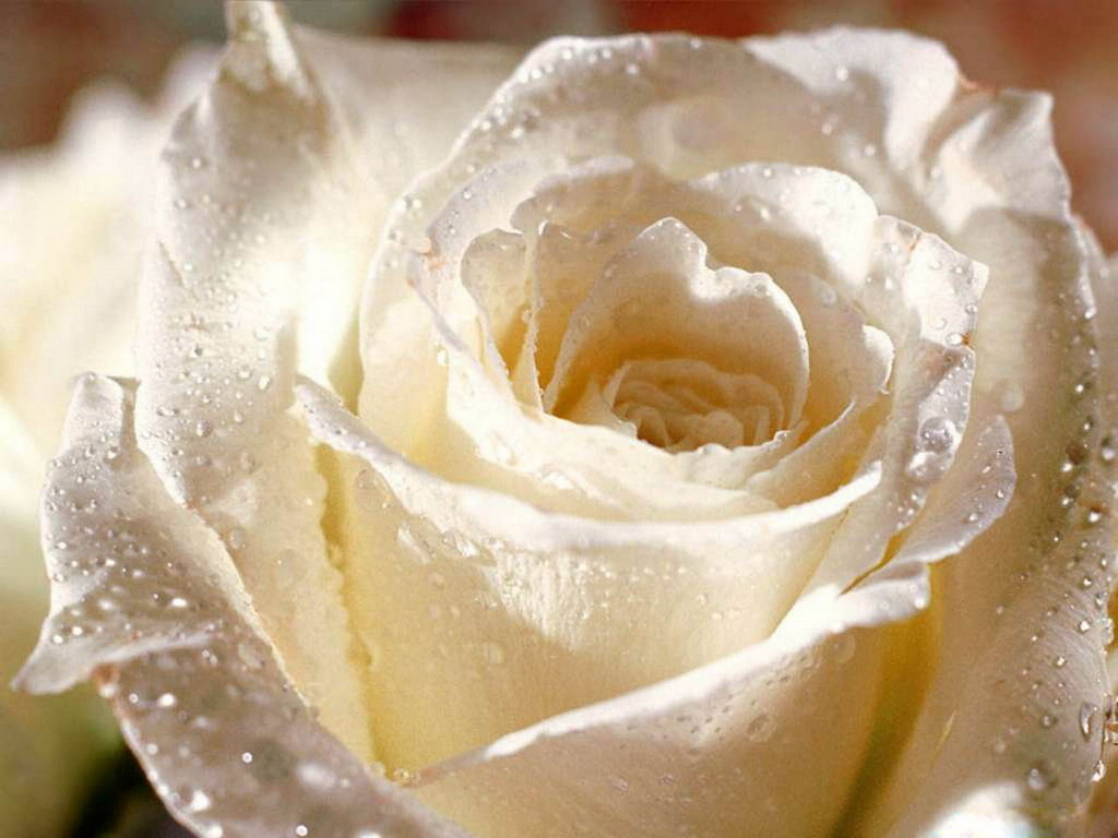 Sad Lonely Girl Wallpapers Hd White Rose Hd Photos Flowers Wallpapers Collections Free