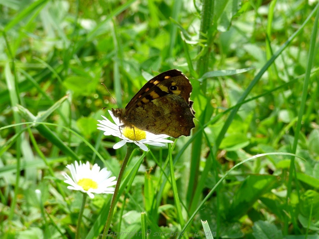Sim brico jardin le tircis papillon for Jardin hamel papillon 2016