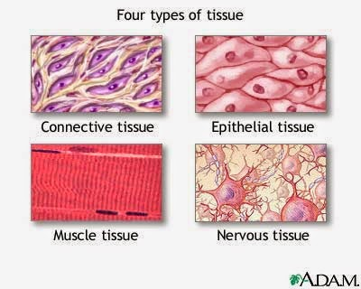 The Elementary Tissues of the Body