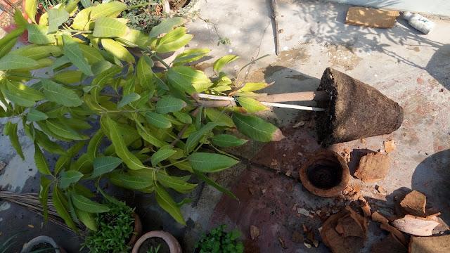 Metro Greens: Mango Plant