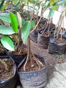 Durian Bawor Kaki 4
