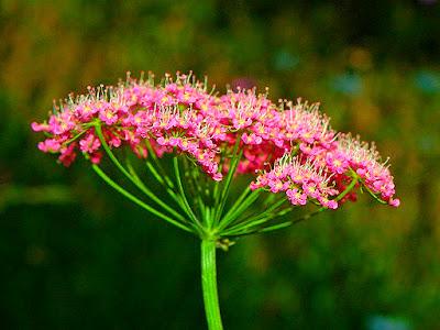 Pinpinela Negra en Fichas de Plantas Medicinales