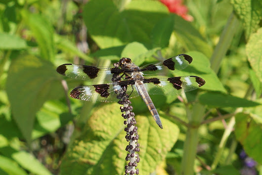 Libellula pulchella (adult male)