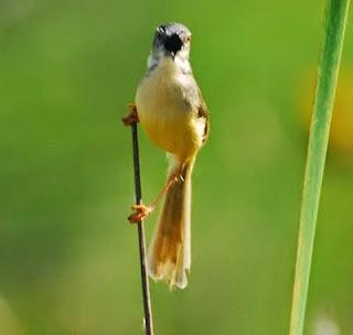 Salah satu burung kicau tipe fighter yang cukup populer yaitu burung ciblek Cara biar ciblek materi cepat nembak ngebren