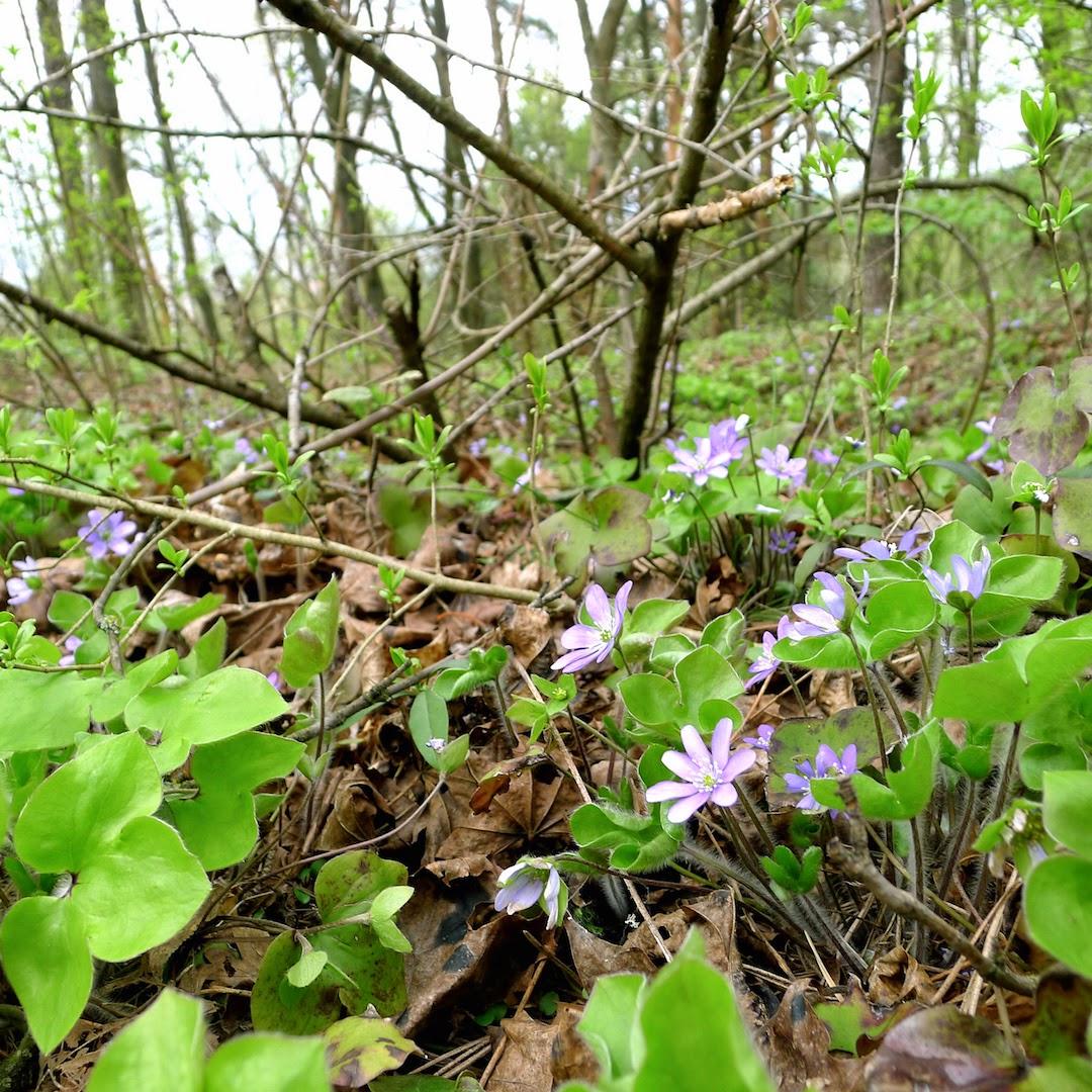 Žibuoklės pavasarį Sapieginėje
