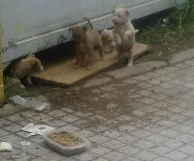 ¡Ayuda! Estos cuatro cachorros viven solos en una obra de Córdoba