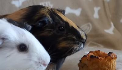 Recipes for Guinea Pig treats